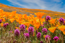Field Of Bright Orange Poppies And Purple Owls Clover Wildflowers