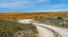 Curving Dirt Road Leads Through Bright Orange Poppy Field Under Blue Sky