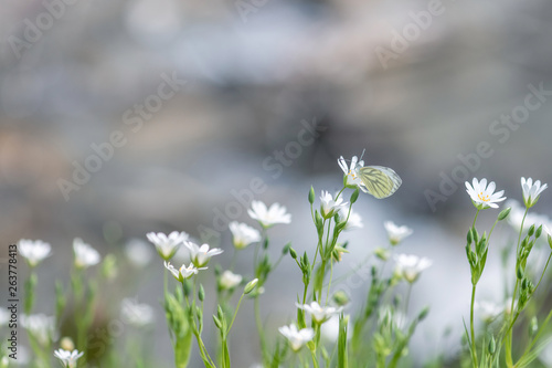 Stampa su Tela  papillon sur fleur blanche