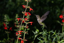 Anna's Hummingbird, Mid Flight, Feeding On Red Flowers. In Arizona's Sonoran Desert.