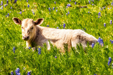 Calf Lying In A Meadow With Blue Bonnets, Texas