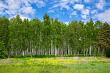 Birch Grove On A Sunny Summer ...