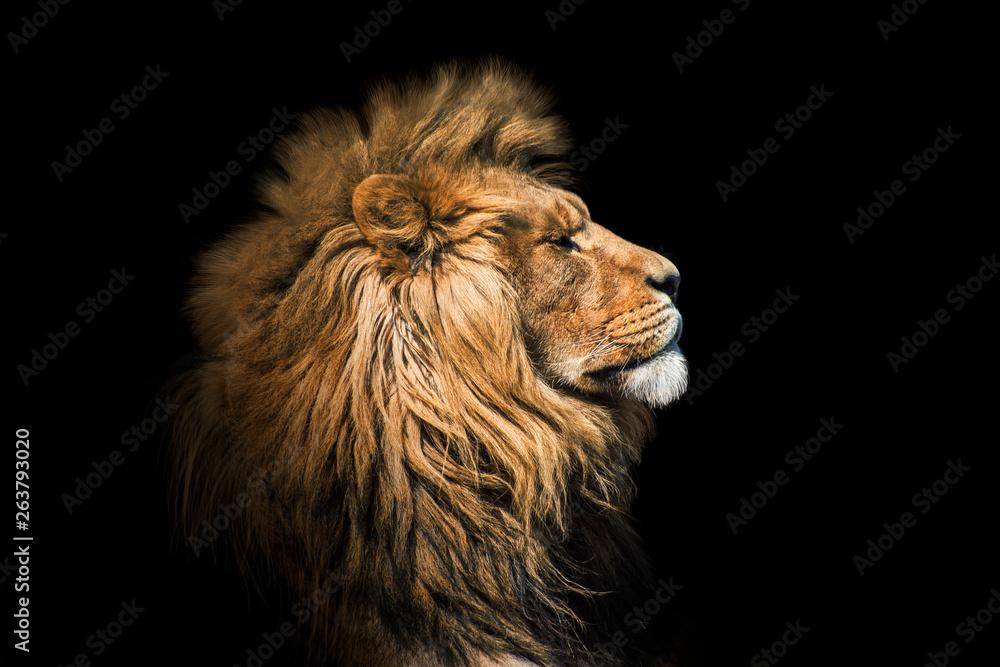 Fototapeta Portrait lion on the black. Detail face lion. Hight quality portrait lion. Portrait from animal