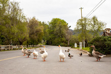 A Group Of Ducks And Geese Wal...