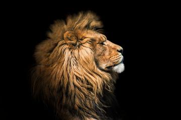 Portretni lav na crnom. Detalj lice lava. Portretni lav visoke kvalitete. Portret sa životinje