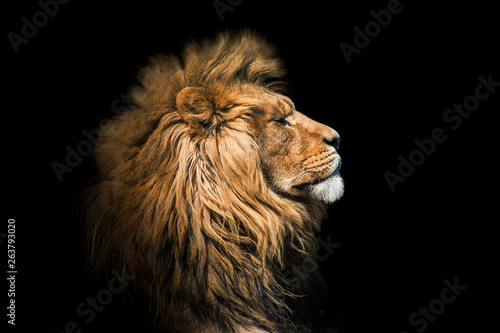 Photo Portrait lion on the black