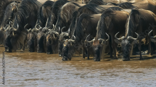 Fotografía  herd of wildebeest drinking from the mara river, kenya