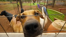 Beautiful Brown Inquisitive Shelter Dog Places Snout Through Fence Sniffing Camera During Sunny Day