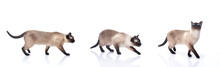 Siamese Cat Isolated On White ...