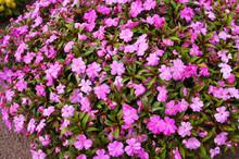 Impatiens Balsamina Or Garden Balsam Purple Pink Flowers