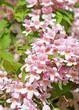 Blühende Kolkwitzie, Kolkwitzia amabilis