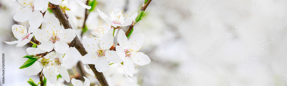 Fototapeta Blooming branch of cherry tree
