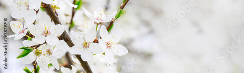 Blooming branch of cherry tree - fototapety na wymiar
