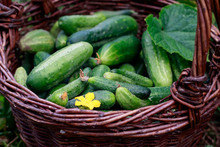 Freshly Picked Cucumber In The Basket