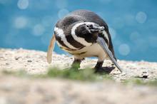 Magellanic Penguin Portrait.