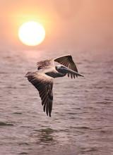 Pelican In Flight Over Ocean At Sunrise