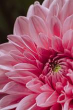 Close Up Of Dahlia Petals