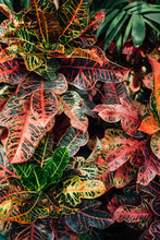 Croton Plants In Conservatory