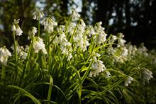 European Native Wildflower Thr...