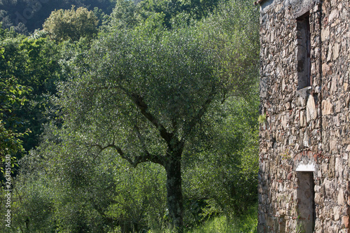 olive tree and medieval wall tuscany italy