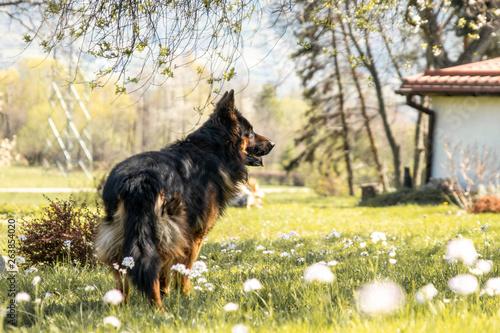 Fototapeta german shepheard on grass obraz na płótnie