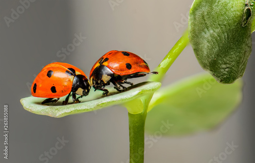 Canvas Prints Ladybugs Pair of Ladybirds with nature background