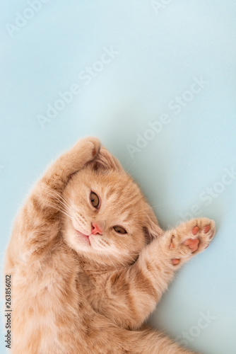 Papiers peints Chat Cute little scottish fold kitten with paws up on blue background. Copy space for text. Animals protection concept.