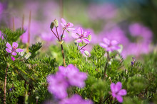 Detail Of Little Pink Flowers - Spring Sunny Day