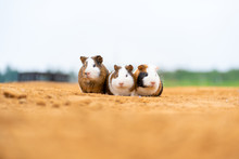 Three Cute Guinea Pigs In The Outdoor