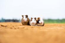 Three Cute Guinea Pigs In The ...