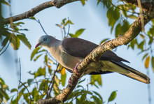 Mountain Imperial Pigeon, Band-tailed Imperial Pigeon In Khao Yai National Park, Thailand