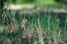 Chipmunk Grass Nature Green  F...