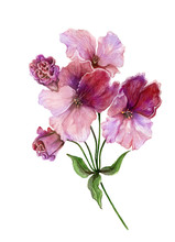 Beautiful Regal Pelargonium (geranium) Flower On A Stem With Green Leaves. Pink And Purple Flower Isolated On White Background. Watercolor Painting.