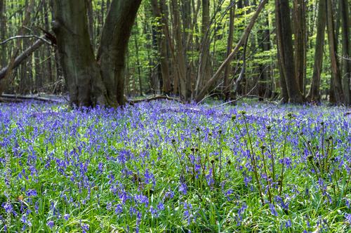 Papiers peints Jardin Bluebell Woodlands