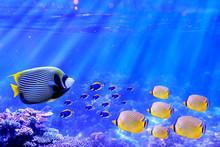 Emperor Angelfish Swimming In ...