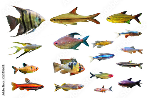 Photo Set of Ornamental Freshwater Fish on white isolated background