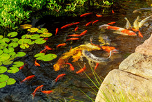 Colorful Fancy Koi Fish On The Surface Water Swimming In The Pond Garden Enjoy Feed Floating