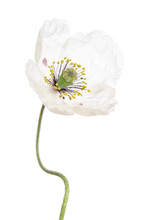 Single White Poppy Isolated On White Background.