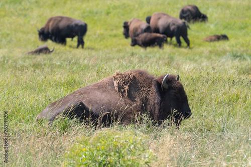 Obraz na plátne bison change the fur in Antelope island state park in Utah