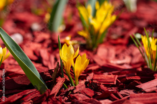 Fotografia, Obraz Bright yellow flowers on a red mulch flowerbed close-up