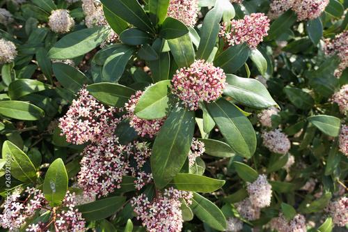 Canvastavla Skimmia japonica bush in bloom