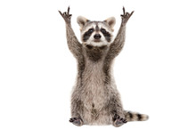 Funny Raccoon Showing A Rock G...