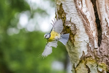 Going To Find Food For My Kids  Eurasian Blue Tit