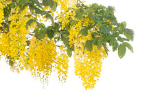Beautiful Of Cassia Fistula Blooming On Tree Isolated On White Bacckground, Thailand National Tree.