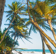 Coconut palm trees by the sea in Grande Anse beach
