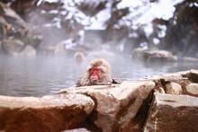 A Wild Snow Monkey In Hot Spri...