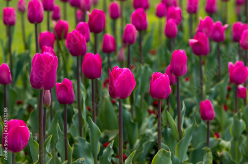 Photo sur Toile Rose Blossoming tulips in spring Sofia, Bulgaria