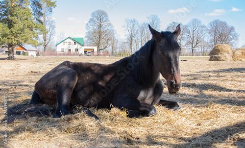 Valokuvatapetti One black horse is resting lying on the spring sunshine