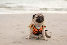 Happy Dog Pug Breed Wearing Li...