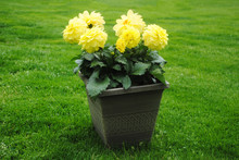 Bright Yellow Dahlia Flowers Growing In A Flower Pot